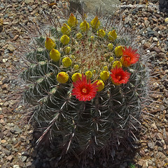 Ferocactus wislizenii, with red flowers (l.e.violett) Tags: cactus flowers cultivated ferocactus wislizenii arizona pse