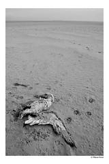 (Tiffanie Poiret) Tags: canoneos60d playa plage mer sea black white bird dead war mystic canon