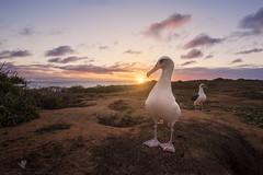 New Beginnings (santosh_shanmuga) Tags: laysan albatross bird seabird birding aves wild wildlife nature animal outdoor outdoors nikon d810 1424mm hi hawaii oahu kaena point wide angle sunset