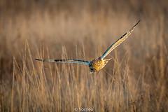 ShortEaredOwl-0011.jpg (vorneo) Tags: birdofprey shortearedowl seo bird wild classaves orderstrigiformes familystrigidae genusasio phylumchordata speciesaflammeus wildbird kingdomanimalia binomialnameasioflammeus