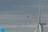 Merlin (Falco columbarius) Startsakalis