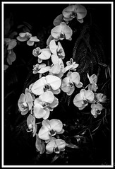 Orchids in Monotone (johnscratchley) Tags: orchids flora gardens beauty monotone blackandwhitephotography