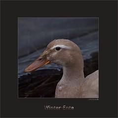 KUSA-4713 (Weinstöckle) Tags: ente stockentenmischling wasservogel enz enzaue pforzheim