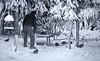 Doctor Doolittle and his hens . . . (JLS Photography - Alaska) Tags: alaska animals birds winter wilderness wildlife jlsphotographyalaska sprucehens sprucegrouse art painterly painting digitalart digitalmanipulation snow monochrome outdoor