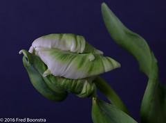 """Mint Green Rococo Parrot Tulip"" (A.J. Boonstra) Tags: parrottulip tulip tulp dutchtulp bluebackground indoor macro closeup canon canon70d canoneos ef100mmf28lmacroisusm falconeyesskk2150d westcottsilverumbrella jinbeiwhiteumbrella mintgreenrococoparrottulip"