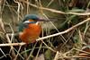 Martin-Pêcheur 170112-04-RP (paul.vetter) Tags: oiseau ornithologie ornithology faune animal bird martinpêcheur alcedoatthis eisvogel kingfisher