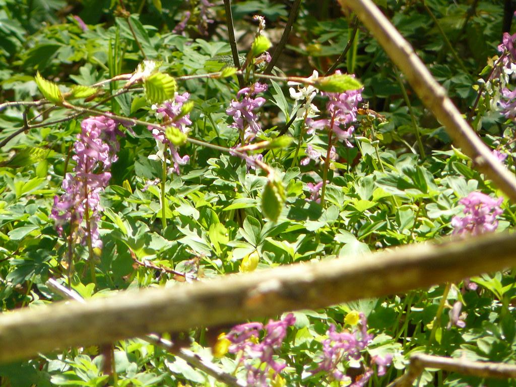 Corydalis cava- Hohler Lerchensporn9