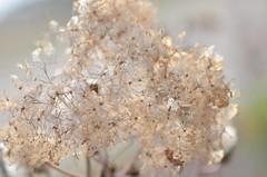 fluffy hydrangea (snowshoe hare*) Tags: dsc0754 winter hydrangea botanicalgarden flowers アジサイ 紫陽花 海の中道海浜公園 withered