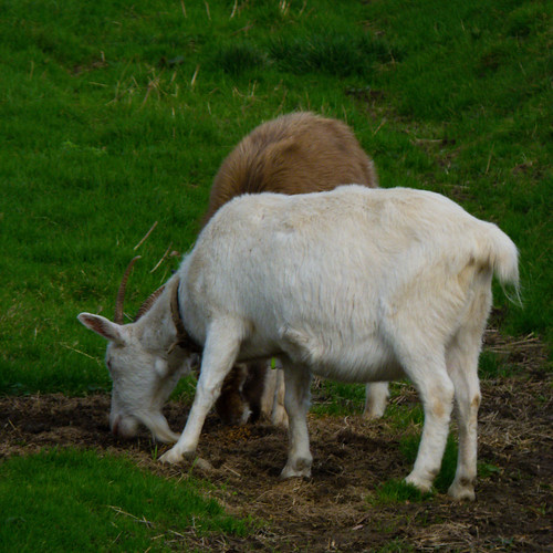 Goats guzzling