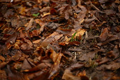 Life from death (GarethBell) Tags: leaves garlic bulb growth life decay promise soil dirt brown hope canon canon6d 6d wales anglesey beaumaris woods forest ground