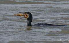 Gloupsssss (Régis B 31) Tags: grandcormoran greatcormorant phalacrocoracidés phalacrocoraxcarbo pélécaniformes suliformes ariège bird domainedesoiseaux mazères oiseau