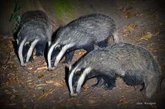 Badger cub triplets  - Buckinghamshire (Alan Woodgate) Tags: badger flash wild meles