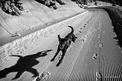 Flying Paula (galvanol) Tags: austria oetztal tyrol bw dog galvanol labrador snow winter