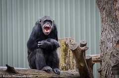 warning signs (Austin Westervelt) Tags: chimpanzee mouth sitting teeth yawning solitary zoo