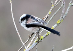 Pastel shades. (pstone646) Tags: longtailedtit bird nature wildlife closeup animal fauna kent twig dungeness
