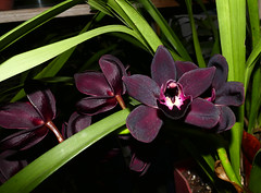Cymbidium Kiwi Midnight 'Geyersland' hybrid orchid (explore: high was 319 on 2-18-17) (nolehace) Tags: winter nolehace sanfrancisco fz1000 flower bloom plant 117 cymbidium kiwi midnight geyersland hybrid orchid cultivar