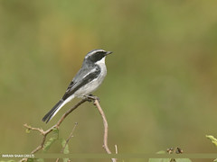Grey Bushchat (Saxicola ferreus) (gilgit2) Tags: avifauna birds canon canoneos7dmarkii category fauna feathers geotagged greybushchatsaxicolaferreus imranshah location marala pakistan punjab sialkot species tags tamron tamronsp150600mmf563divcusd wildlife wings gilgit2 saxicolaferreus birds08