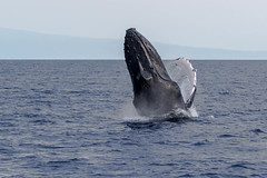 I think you're going to Need a Bigger Boat (Chasing Photons) Tags: maui lahaina humpback whale breech