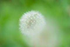 ball (aqugacosmo) Tags: japan pentax puff fluff dandelion   sigmalens   dandelionfluff  pentaxart