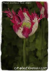 Papaver somniferum 'Izmir Afghan' (farmer dodds) Tags: afghanistan afghan poppy opium izmir papaver papaveraceae papaversomniferum opiumpoppy izmirafghan izmirafghanistanspecial