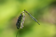 The Shy Damselfly