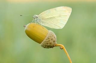 Butterfly , my love...
