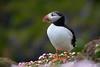 Macareux moine #1 [ Îles Shetland ] (emvri85) Tags: greatbritain scotland cliffs puffin falaises macareux noss écosse bressay grandebretagne shetlandislands noupofnoss macareuxmoine theshetlandislands armériesmaritimes