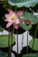 IMG_0397 (ernesttse) Tags: hongkong lotus ernest tse