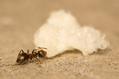 Crispy Snack (Thanh.Danh) Tags: test macro bug insect wildlife ant nymph 250 usd tamron70300 raynox sonyalphaa65