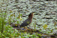 Big gulp (holdit.) Tags: fish bird heron fishing swallow gulp wader greenheron butoridesvirescens watern