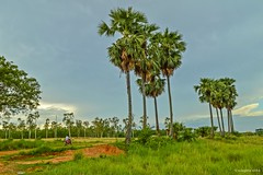 Sonar bangla (Sougata2013) Tags: trees india nature landscape palmtree bengal westbengal tagore nikond3200 toddypalm arecaceae birbhum santiniketan sonarbangla borassusflabellifer palmyrapalm
