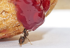 Picnic (kunstschieter) Tags: macro insect bread picnic ant jam makro insekt picknick brood marmelade mier