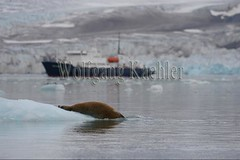40079646 (wolfgangkaehler) Tags: tourism norway europe european wildlife svalbard arctic norwegian seal resting sequence marinemammal spitsbergen laying icefloe pinniped polarpioneer lilliehookfjorden expeditioncruiseship expeditiontravel expeditiontourism expeditioncruising slippingintowater beardedsealerignathusbarbatus lilliehookfjord lilliehookglacier