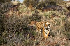 J56A6101-small (buddy4344) Tags: africa tiger jv freestate karoo tigercanyons johnvarty