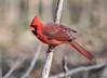 Northern Cardinal (b88harris) Tags: northern cardinal male red black brown bird songbird nature wildlife winter light sunlight sunshine exposure hiking park tree specanimal potofgold ngc