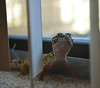 (ryountphotography) Tags: thedoctor leopardgecko reptiles cute