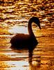 Swan at a sunset (Topolino70 **** Thanks for Million Views! *****) Tags: swan joutsen sunset dusk auringonlasku silhouette lauttasaari helsinki finland sea outdoor bird