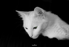 green eyes (dim.pagiantzas | photography) Tags: cat cats pets animals felines feline pet white black blackandwhite green kitty beauty beautiful grayscale monochrome indoor kitten portrait canon dslr