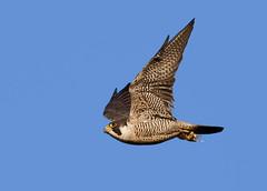 Peregrine Falcon  (Falco peregrinus ) - Thats brunch sorted !! (Mid Glam Sam1) Tags: birdofprey falcon wales inflight hunter prey peregrinefalcon falcoperegrinus
