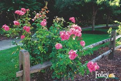 Wilbourne Antique Rose Trail (King Kong 911) Tags: postcards foley roses trains museum park bell tower heritage
