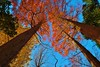 Autumn woods (namhdyk) Tags: autumn branches dawnredwood fall tree trees canon canonpowershot canonpowershotg7x