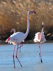 Flamants roses (Maud Douay) Tags: flamants roses flamingo rose phoenicopterus roseus camargue bird pink