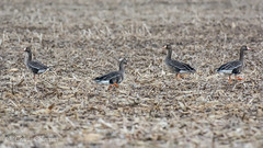 The day we went over it was cloudy and rainy, but you never know how long they will stay in any one area, so you go when you can........ (TKovener) Tags: greater white fronted goose ewing bottoms indiana