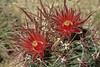 Ferocactus gracilis (l.e.violett) Tags: cactus flowers cultivated ferocactus gracilis arizona pse