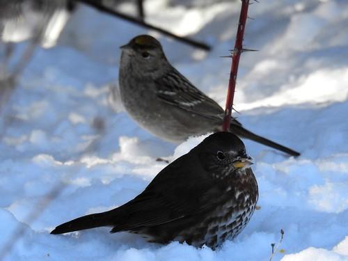 snow birds ..