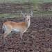 Rote Letschwe Antilope / Red Lechwe Antilope