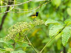 20161228-EM122676 (shutterblades) Tags: birds kranjimarshes olivebackedsunbird olympusem1mkii olympusmzuiko300mmf4pro