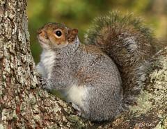 Grey Squirrel portrait. (ronalddavey80) Tags: mamal tree wildlife nature canon eos70d tamron portrait