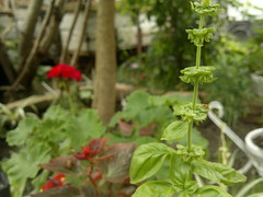 Albahaca (gedeondav) Tags: albahaca verde garden green jardín bokeh red rojo nature vegetal