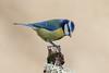 _F0A8654.jpg (Kico Lopez) Tags: cyanistescaeruleus galicia herrerillocomún lugo miño spain aves birds feeder rio